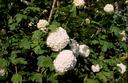 Fiore di Viburnnem Opulus detti anche Palloni di Neve (Ortensia)